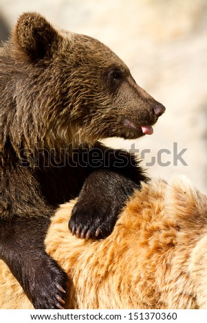 Grizzly (Ursus arctos) bear cubs with mother - stock photo