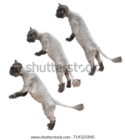 Groomed cat standing on two legs. Set on white background