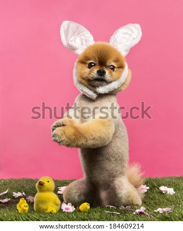 Groomed Pomeranian dog standing in grass on hind legs and wearing a rabbit ears headband in front of a pink background - stock photo