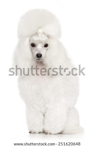 Groomed Toy Poodle. Portrait on white background - stock photo