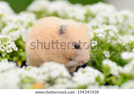 Grooming Golden Hamster in Alyssum Garden