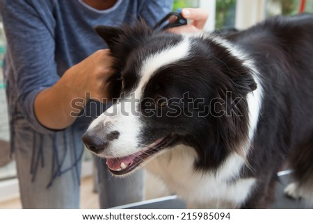 Grooming of Border Collie with grooming tools. - stock photo