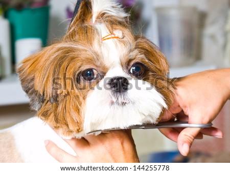 Grooming the Shih Tzu dog - stock photo