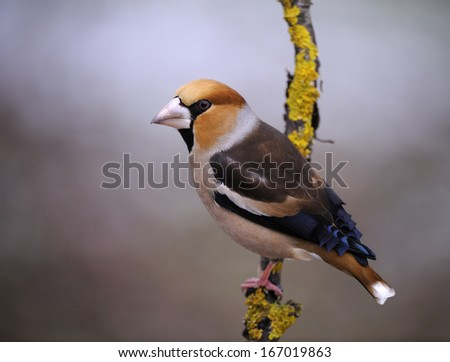 grosbeak, hawfinch, Coccothraustes coccothraustes, Kernbeiss?er, Germany