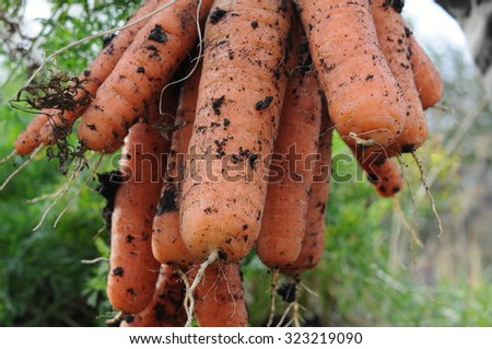 Gross carrot harvest bunch just pulled out - stock photo