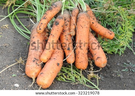 Gross carrot just pulled out from the ground - stock photo