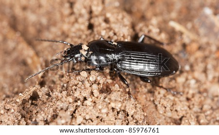 Ground beetle on wood, macro photo - stock photo