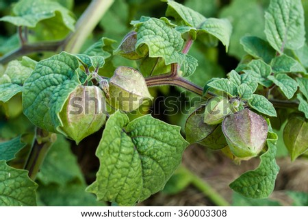 Ground Cherries on the Plant in the Garden.  - stock photo