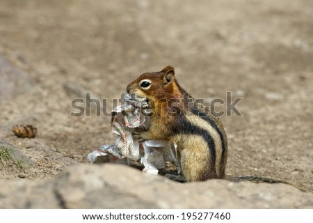Ground chipmunk squirrel portrait while looking at you - stock photo