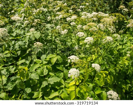 Ground elder (Aegopodium podagraria) is a perennial plant in the carrot family (Apiaceae) that grows in shady places. - stock photo