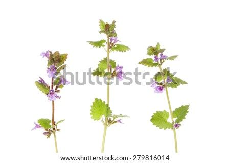 Ground ivy, Glechoma hederacea, wild flowers isolated against white - stock photo