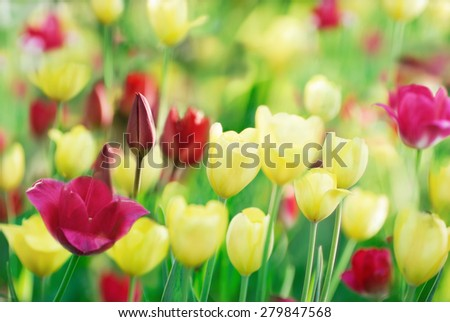 Ground level view of multicolored tulips on nature background - stock photo