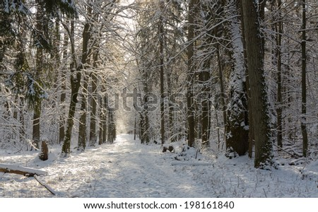 Ground road snow covered crossing deciduous stand of Bialowieza Forest - stock photo