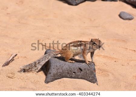 Ground Squirrel Atlantoxerus Getulus - stock photo