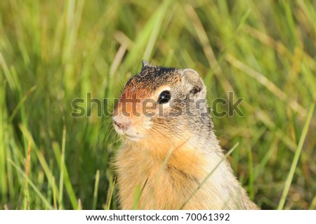 Ground Squirrel - Canadian Rocky Mountains - stock photo