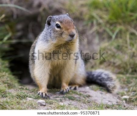 Ground squirrel found in Banff National Park. - stock photo