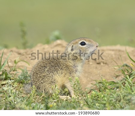 Ground squirrel, gopher cub (Spermophilus citellus)   - stock photo