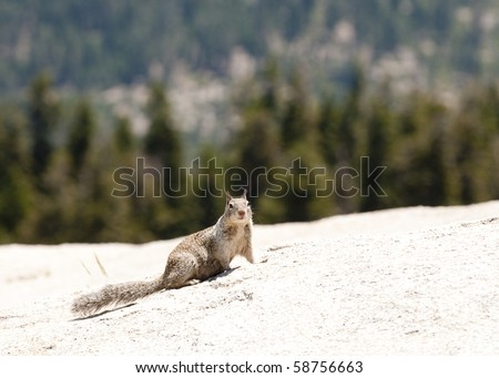 Ground squirrel high in the Sierras in Yosemite national park