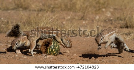 ground squirrel in the kalahari