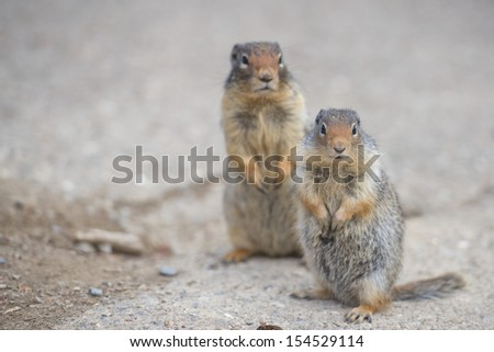 Ground squirrel portrait while looking at you