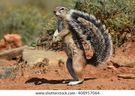 Ground Squirrel with tail all fanned out - stock photo
