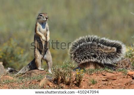Ground Squirrels  - stock photo