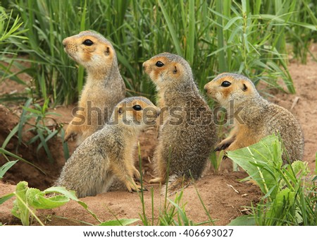 ground squirrels in the meadow