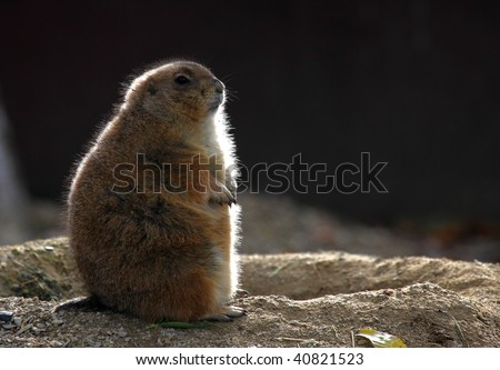 groundhog - stock photo