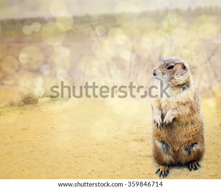 Groundhog emerged from his burrow  o see shadow on the background bokeh - stock photo