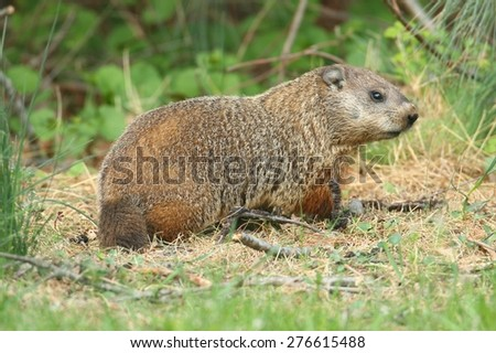 Groundhog (Marmota monax) also known as a Woodchuck in a field - stock photo