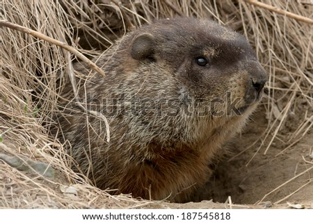 Groundhog poking his head out of his burrow. - stock photo