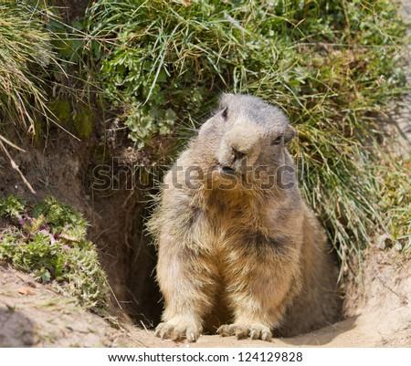 groundhog sitting in front of it's den in summer in Valais, Switzerland - stock photo