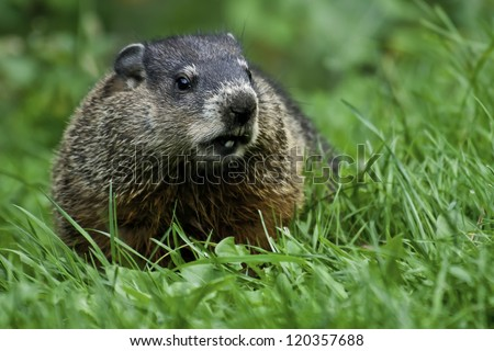 Groundhog standing in the grass looking to right. - stock photo
