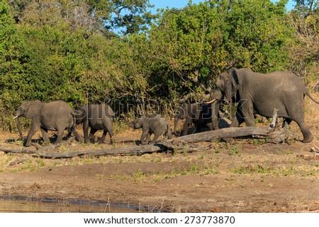 Group and baby elephant drinking river Chobe, Botswana, Africa. Safari during travel. - stock photo