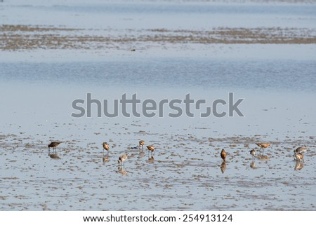 Group bar-tailed godwit wading in wadden sea - stock photo