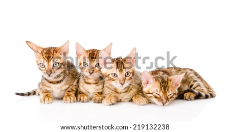 group bengal kittens looking at camera. isolated on white background