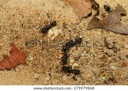 group black ant in forest thailand - stock photo