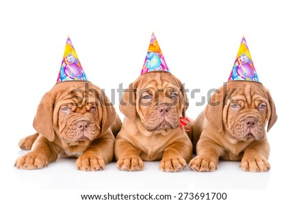 Group Bordeaux puppies dog with birthday hats. isolated on white background - stock photo