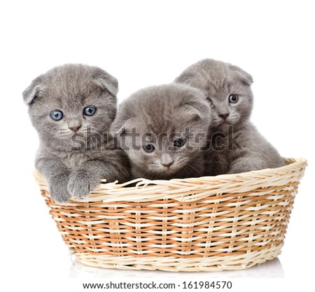 group british shorthair kittens in basket. isolated on white background - stock photo