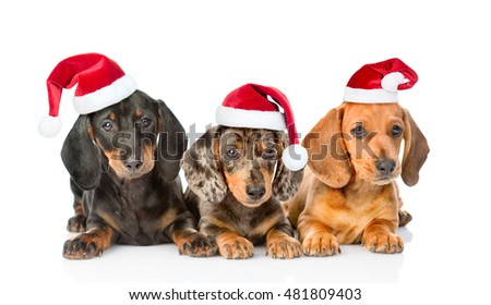 Group Dachshund puppies in christmas hats. isolated on white background