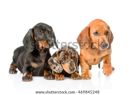 Group Dachshund puppies lying together. isolated on white background
