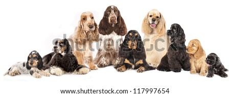 Group English Cocker Spaniels and American Cocker Spaniel dogs in front of white background - stock photo