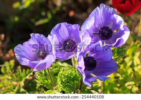 Group flower of violet anemones in a field - stock photo