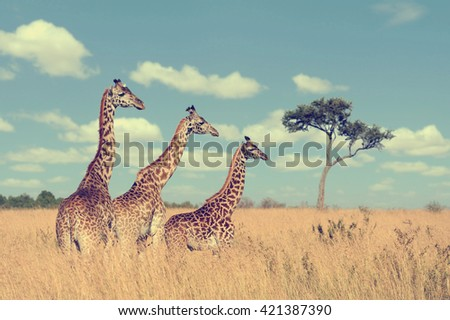 Group giraffe in National park of Kenya, Africa - stock photo