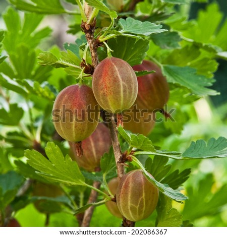 group gooseberry fruits on the bush
