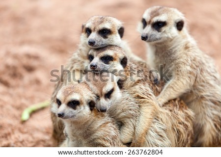 Group hug Meerkat standing on a rainy day because of cold. - stock photo