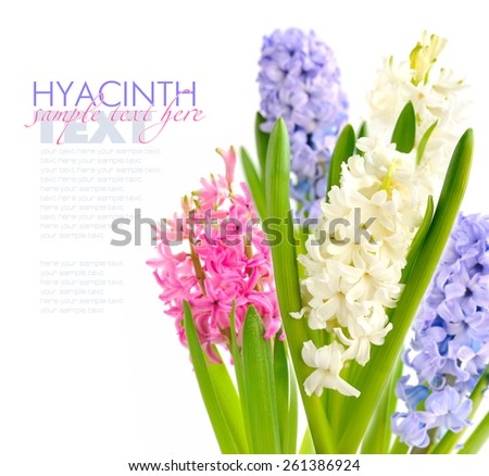 Group multicolored hyacinths on a white background - stock photo