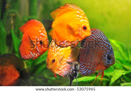 group of a colorfull  tropical Symphysodon discus fishes in an aquarium - stock photo