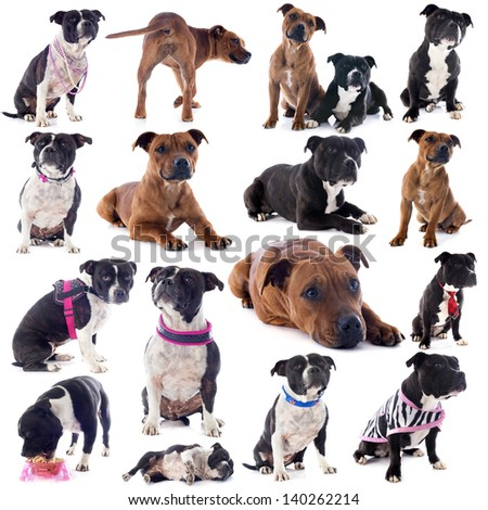 group of a staffordshire bull terrier in front of white background - stock photo