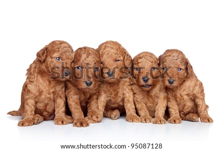 Group of a Toy-poodle Puppy (20 days) on a white background. Closeup portrait series - stock photo